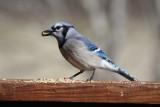 4928 Blue Jay