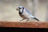 4932 Blue Jay
