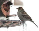 5236 Chipping Sparrow.JPG