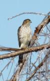 5309Sharp-shined Hawk.JPG