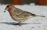 5330 Hs Finch m.JPG