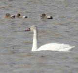 5439 Tundra Swan.JPG