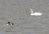 5460 Tundra Swan.JPG