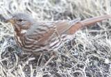 5576 Fox Sparrow.JPG