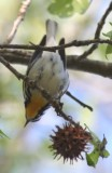 6259 Yellow-throated Warbler