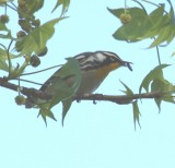 6264 Yellow-throated Warbler