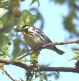 6271Yellow-throated Warbler