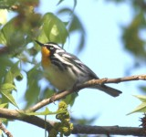 6273 Yellow-throated Warbler