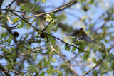 6250 Yellow-throated Warbler