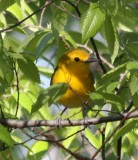 6285 Prothonotary Warbler