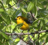 6286 Prothonotary Warbler