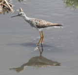 6994 Lsr Yellowlegs.JPG
