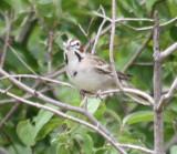 6618 Lark Sparrow