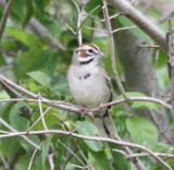6646 Lark Sparrow