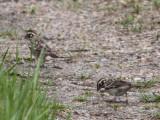 6650 Lark Sparrow
