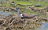 7344 Blk-necked Stilt(f) on Nest