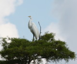 8278 Great Egret