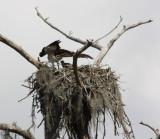 8352 Osprey & Chick