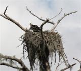 8343 Osprey at nest