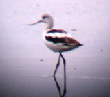 American Avocet  and others in Memphis, TN, 22 Oct '07