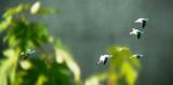 9274 Am Avocets in Flight trees.JPG
