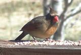 0051 Northern Cardinal F.jpg