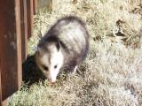 Opossum in the Backyard