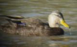 4881 Black Duck.JPG