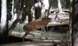 8780 WT Deer crossing the boardwalk.JPG