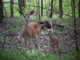 8783 WT Deer mom with one of the twins.JPG