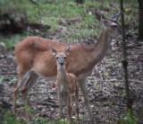 8786 WT Deer- Undivided attention.JPG