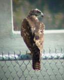 9386 Hawk on Fence.JPG