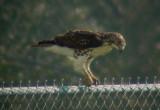 9389 Hawk on Fence.JPG