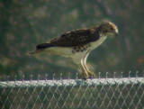 9392 Hawk on Fence.JPG