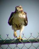 9393 Hawk on Fence.JPG