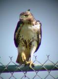 9399 Hawk on Fence.JPG