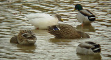 9622 Leucistic Mallard and Others.JPG