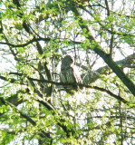 111-01063 Barred Owl.JPG