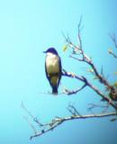 111-01110 E. Kingbird.JPG