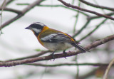 Western Streaked Tanager