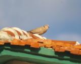 Eurasion Collared Dove