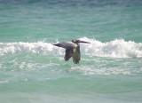 Brown pelican flying bye