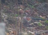 Key West Quail doves