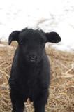 Baa Baa Black Sheep_8735