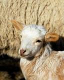Lamb 2010_8859