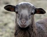 Lamb 2010_8863