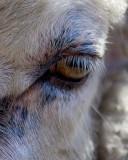 Ewe Eye_8902