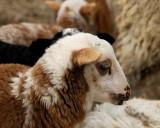 Ram Lamb_9001