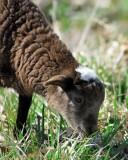 Lamb_9185