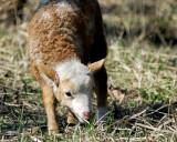 Lamb_9053